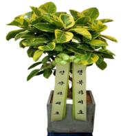뱅갈고무나무 특상